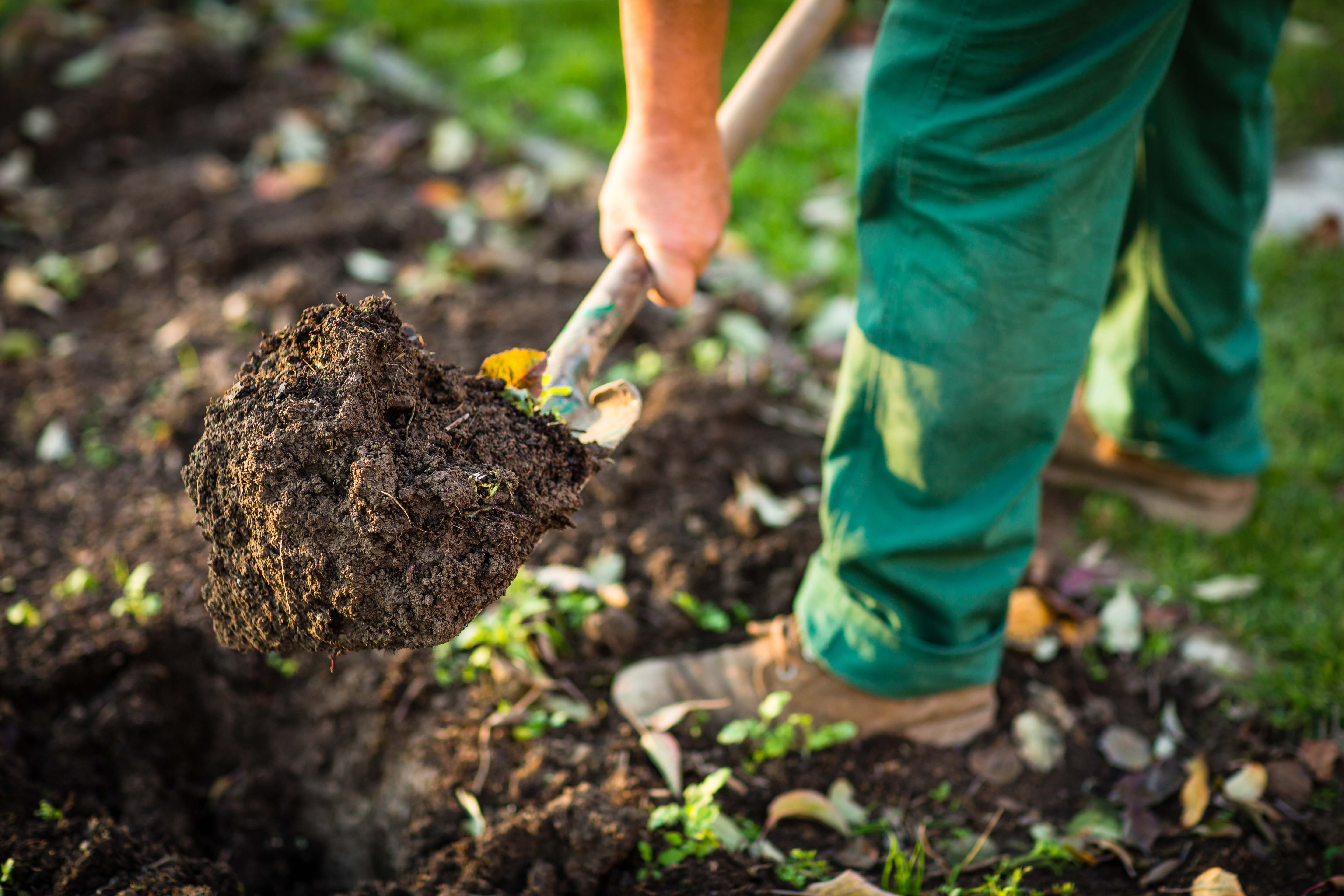 Gardening - man digging the garden soil with a spud (shallow DOF; selective focus)